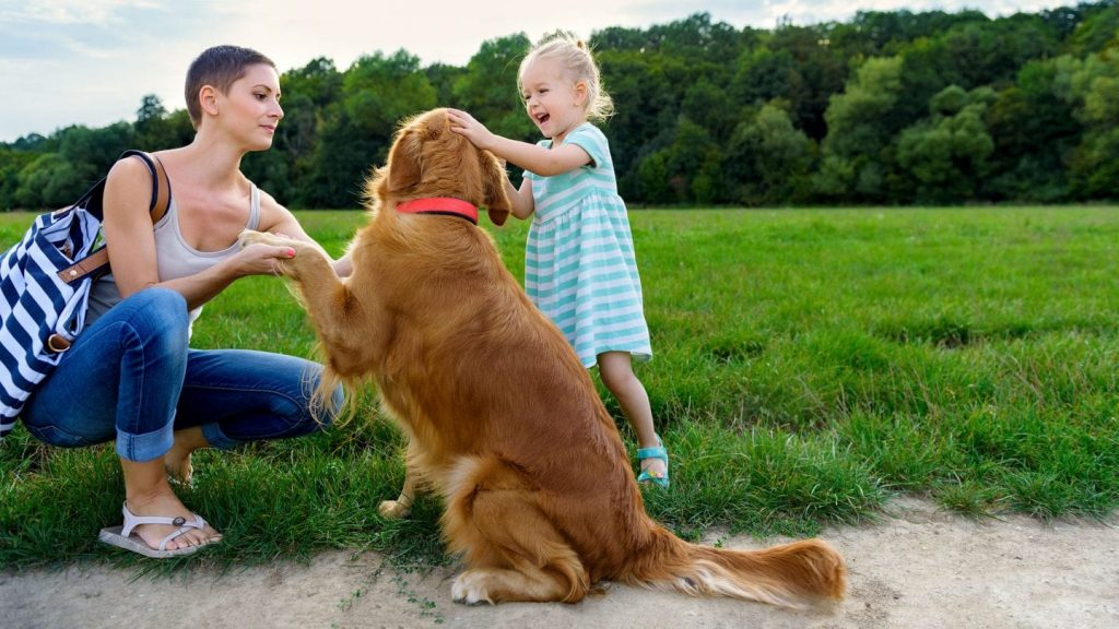 Golden Retriever introduced to little girl