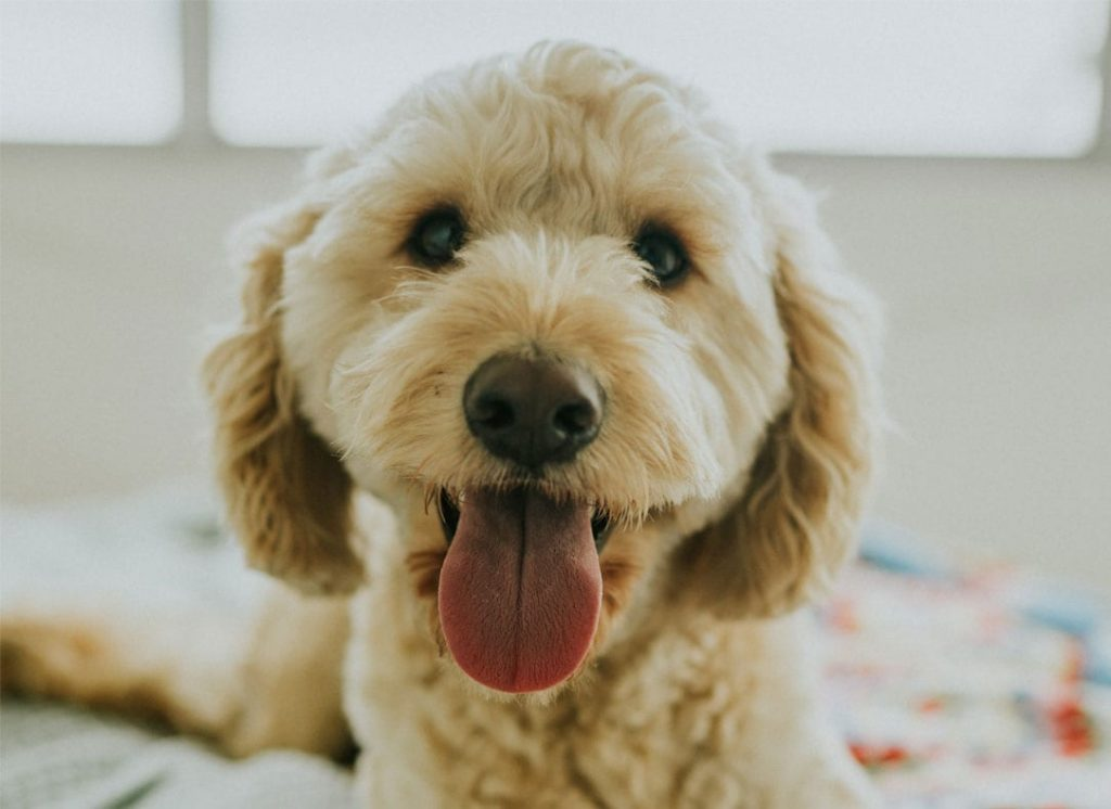 Happy Goldendoodle with his family