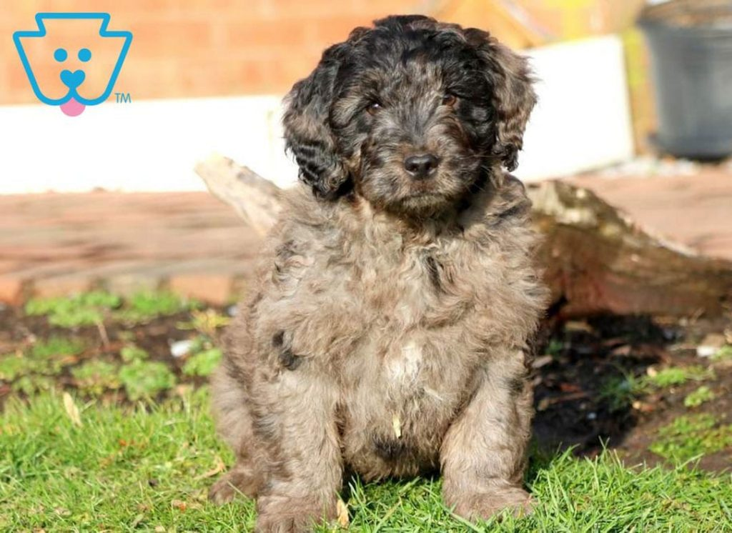 Goldendoodle puppy for sale in PA