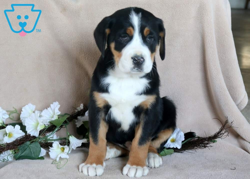 Beanie Greater Swiss Mountain Dog Puppy For Sale
