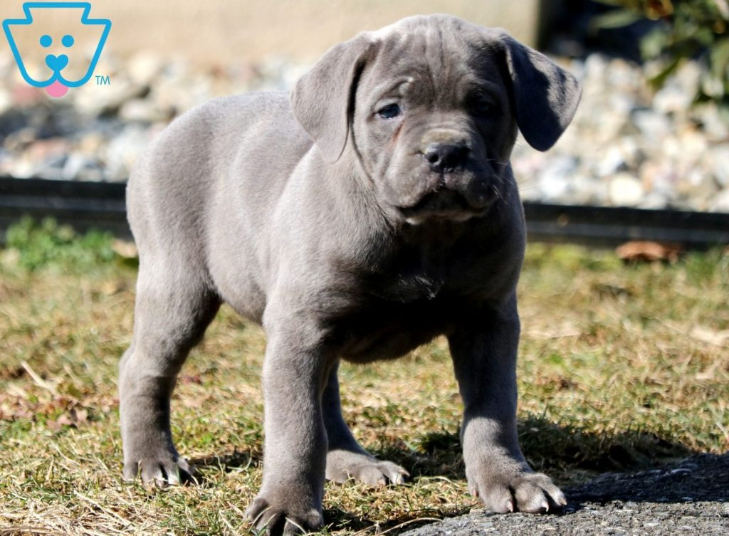 Binky Cane Corso Puppy For Sale Keystone Puppies