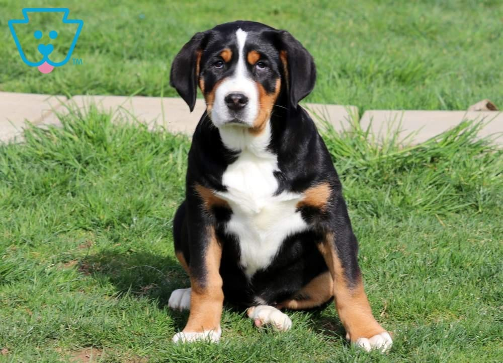 Bunny Greater Swiss Mountain Dog Puppy For Sale Keystone