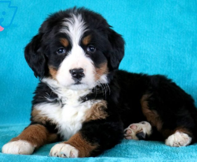 Lionel Bernese Mountain Dog Puppy For Sale Keystone Puppies