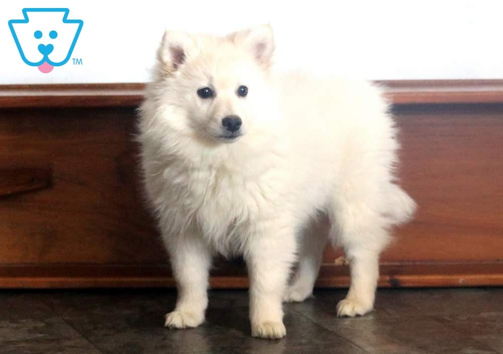 Cinnamon American Eskimo Puppy For