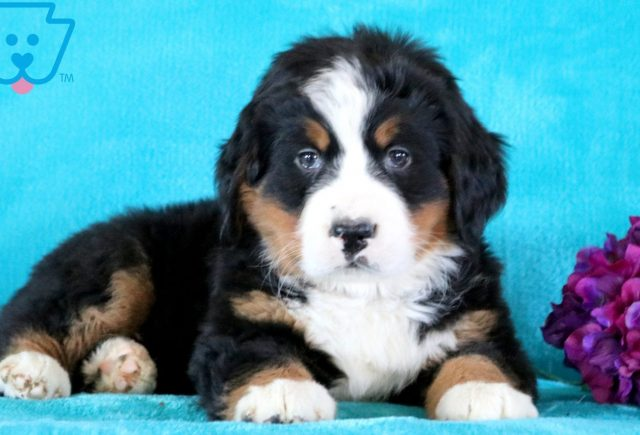 Clay Bernese Mountain Dog 1