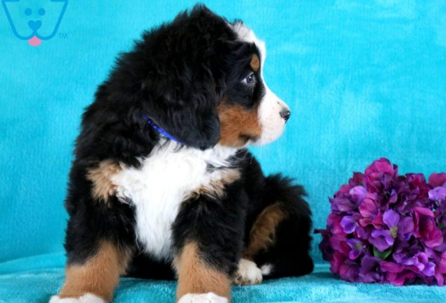 Clay Bernese Mountain Dog 2