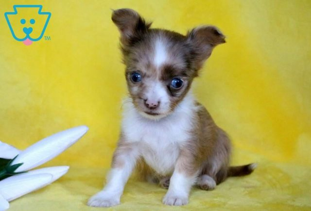 Dee-Chihuahua-Toy-Dog-Breed-AKC