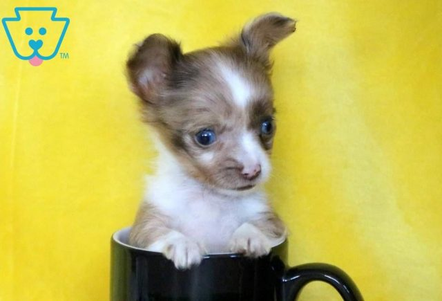 Dee2-Chihuahua-Toy-Dog-Breed-AKC