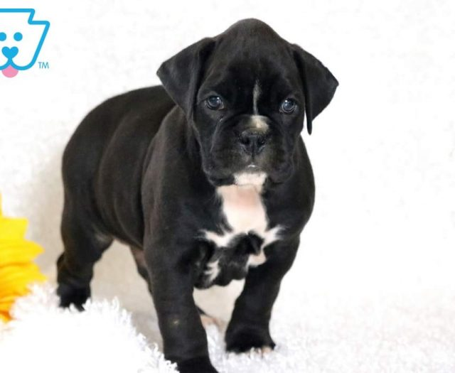 Boxer Puppies For Sale Puppy Adoption Keystone Puppies