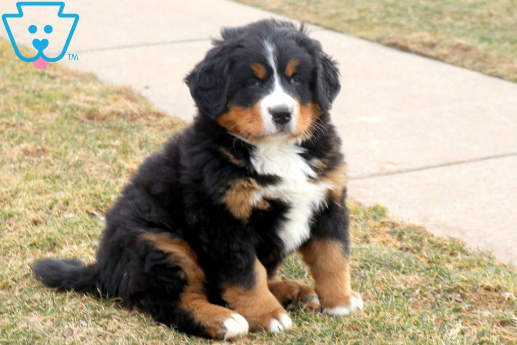 Ginger Bernese Mountain Dog Puppy For Sale Keystone Puppies