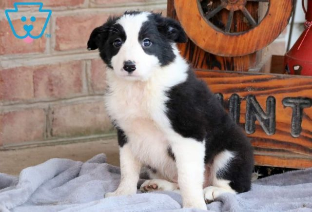Moby-Border-Collie-Herding-Dog-Breed-AKC