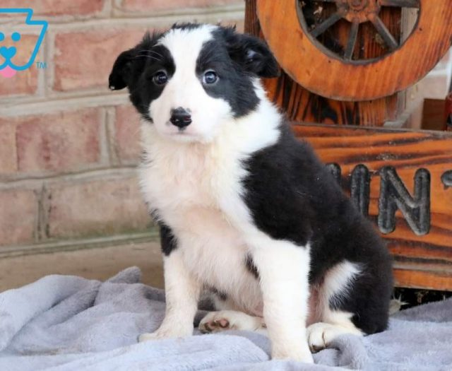 Border Collie Puppies For Sale Puppy Adoption Keystone Puppies