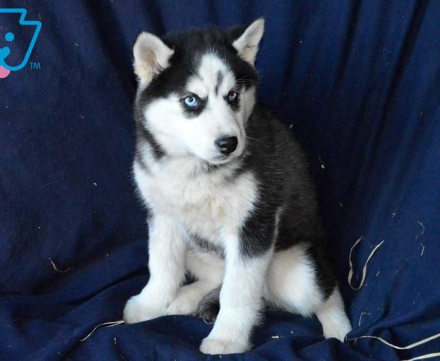 Siberian Husky Puppies For Sale Puppy Adoption Keystone Puppies