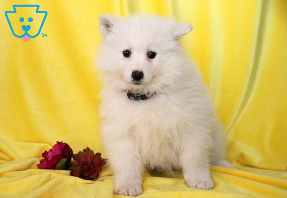 Ned | Samoyed Puppy For Sale | Keystone Puppies