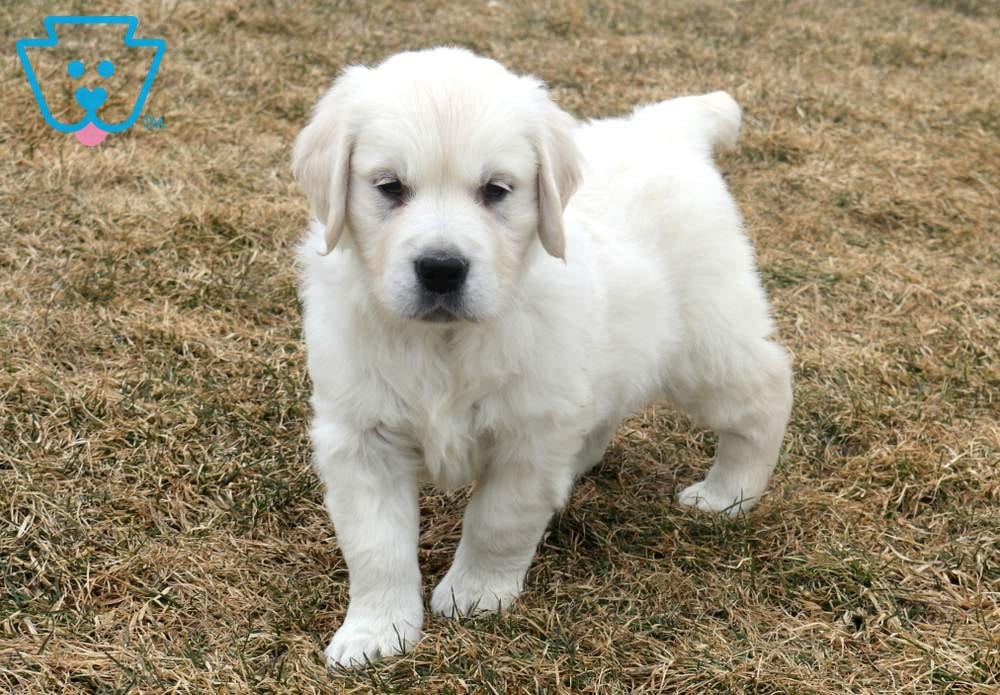 Panther Golden Retriever English Cream Puppy For Sale Keystone