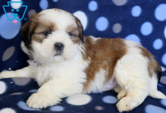 Sal2-Shih-Tzu-Mixed-Breed-Dog