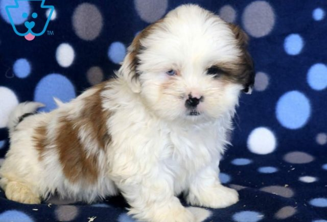 Scoobie-Shih-Tzu-Mixed-Breed-Dog