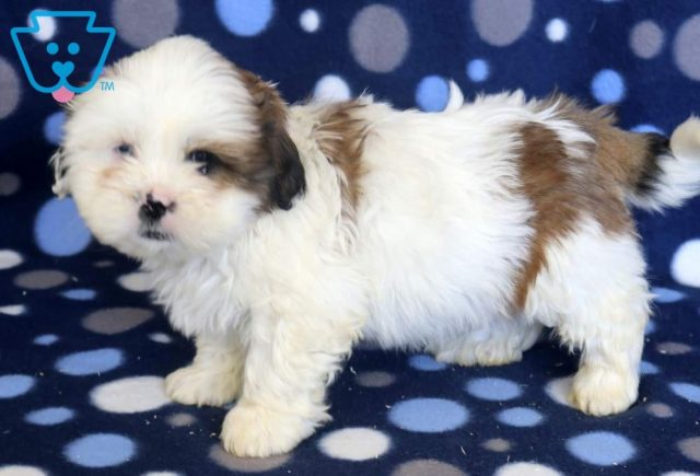 Scoobie2-Shih-Tzu-Mixed-Breed-Dog