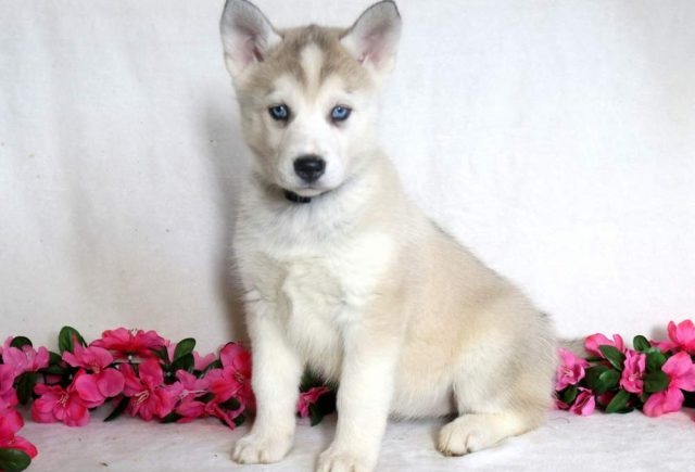 Siberian Husky Mix Category