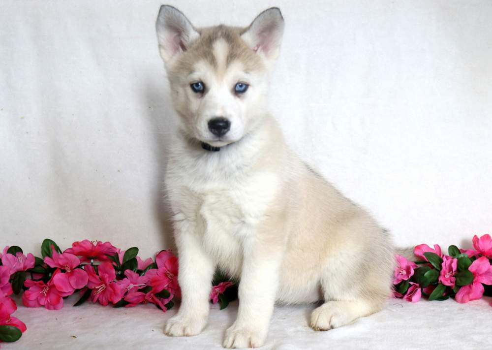 Siberian Husky Mix Puppies For Sale | Puppy Adoption