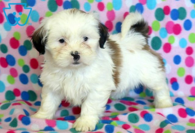Special-Shih-Tzu-Mixed-Breed-Dog