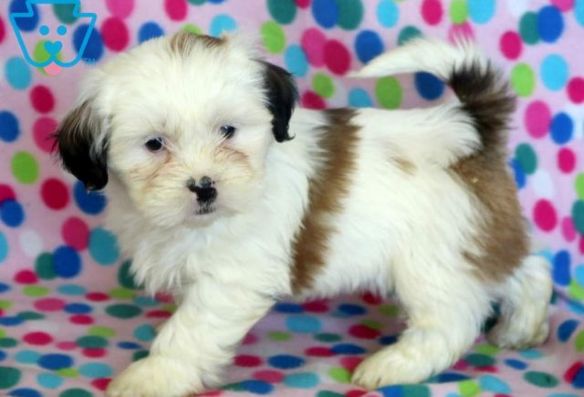 special2-Shih-Tzu-Mixed-Breed-Dog
