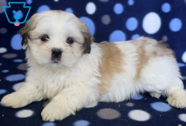 Spike2-Shih-Tzu-Mixed-Breed-Dog