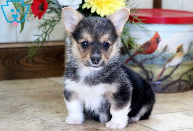 Whitney Welsh Corgi 1