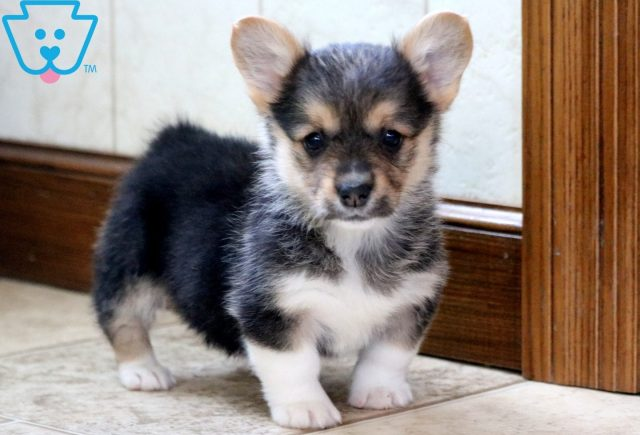 Whitney Welsh Corgi 2