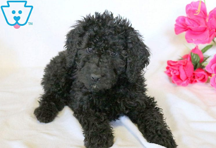 Black Labradoodle puppy for sale