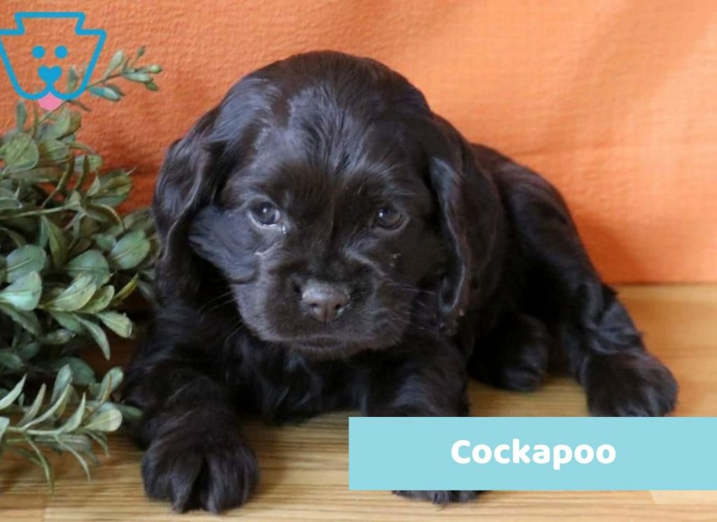 Names for Black Cockapoo Puppy
