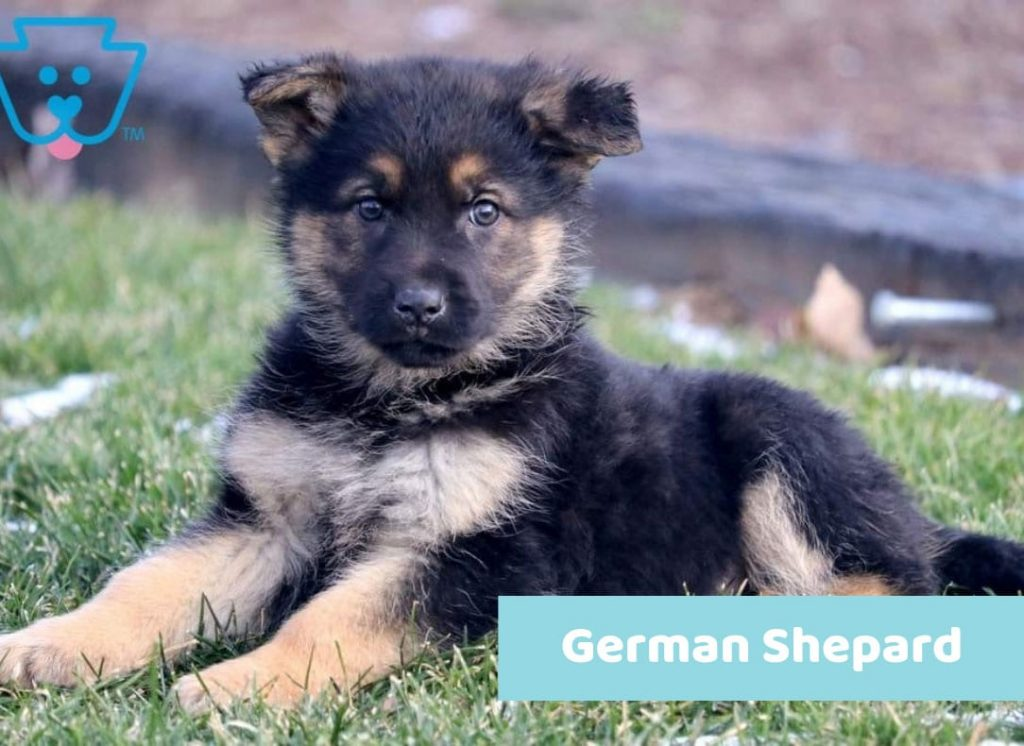 Naming black German Shepard puppy