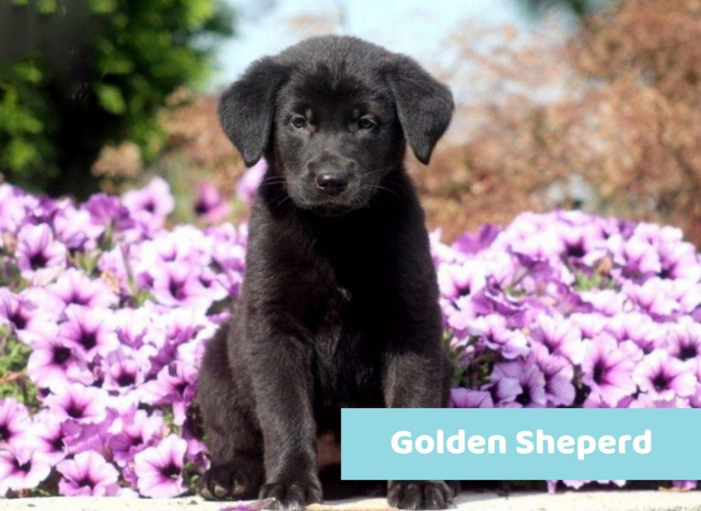 Golden Sheperd puppy black for sale
