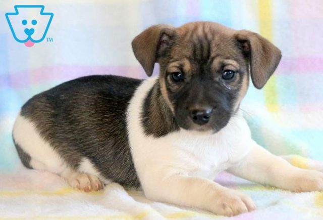Alf-Jack-Russell-Terrier-AKC-Dog-Breed