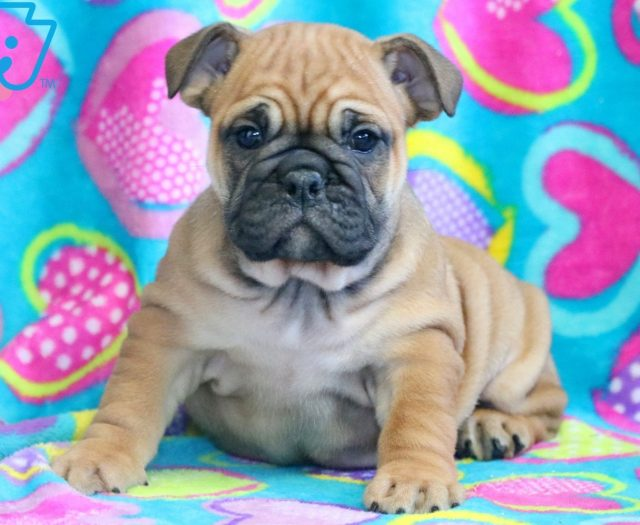 English Bulldog Puppies For Sale Puppy Adoption Keystone Puppies