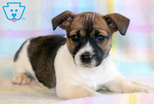 Apple-Jack-Russell-Terrier-AKC-Dog-Breed