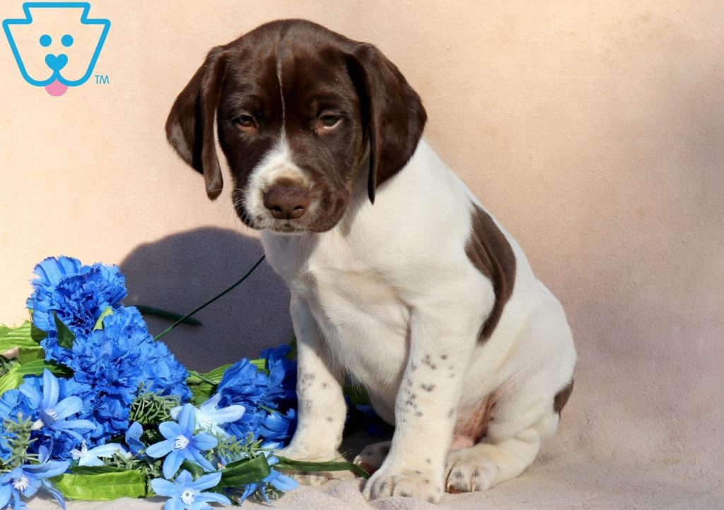 Bear | German Shorthaired Pointer Puppy For Sale | Keystone