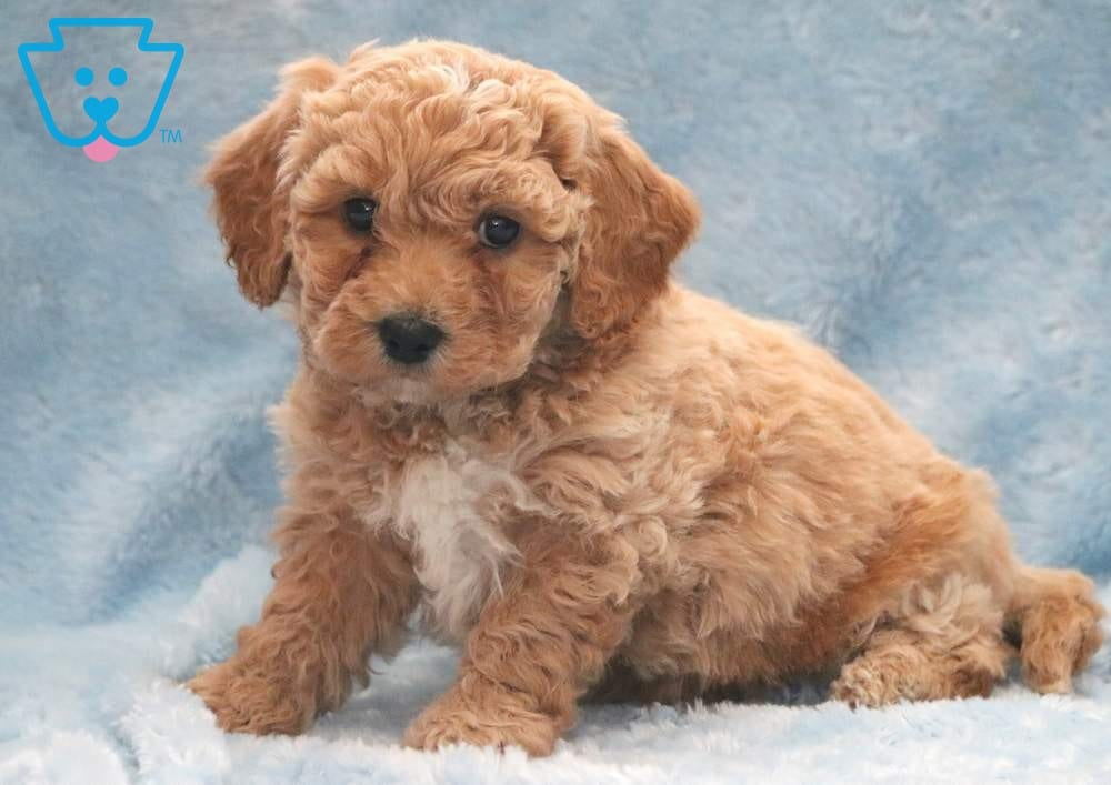 Butterball | Bichpoo Puppy For Sale | Keystone Puppies