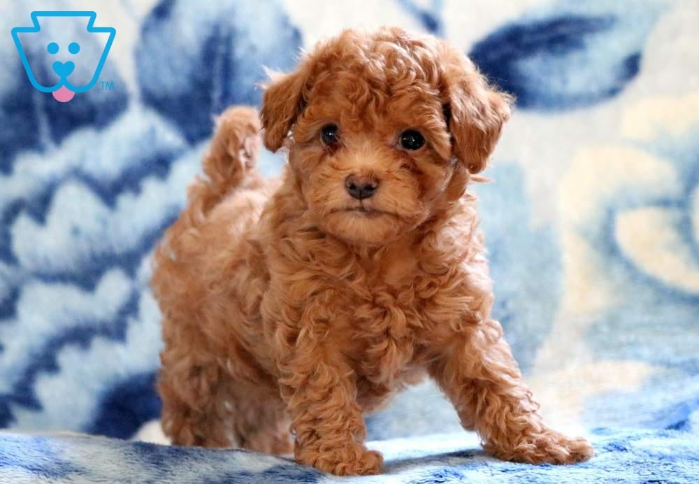 Buttons Maltipoo Puppy For Sale Keystone Puppies
