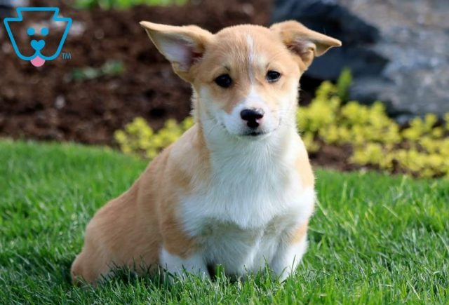 Daffy Welsh Corgi Retake