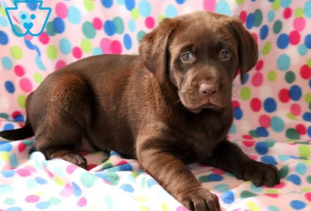Lucky Charm Chocolate Lab2