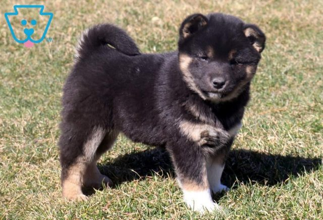 Luther2-Shiba-Inu-Nonsporting-Dog-Breed-AKC