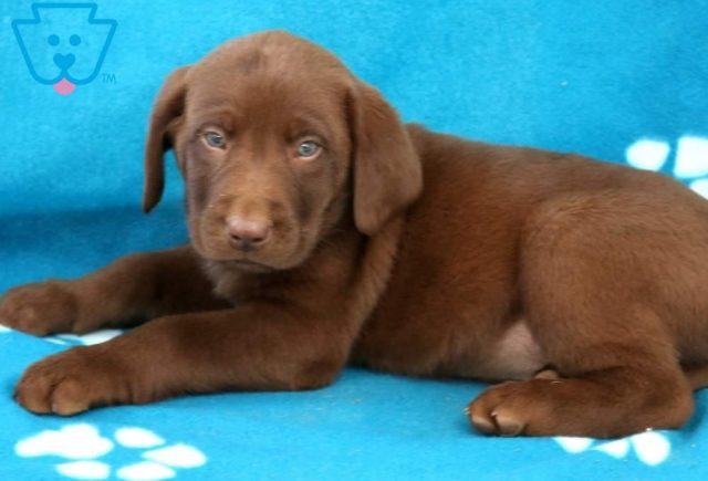 Moe2-Labrador-Retriever-Sporting-Dog-Breed-AKC-Chocolate