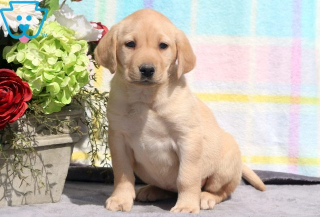 Nala Yellow Lab 1