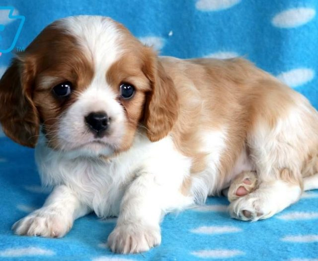 Cavalier King Charles Spaniel Puppies For Sale Puppy Adoption