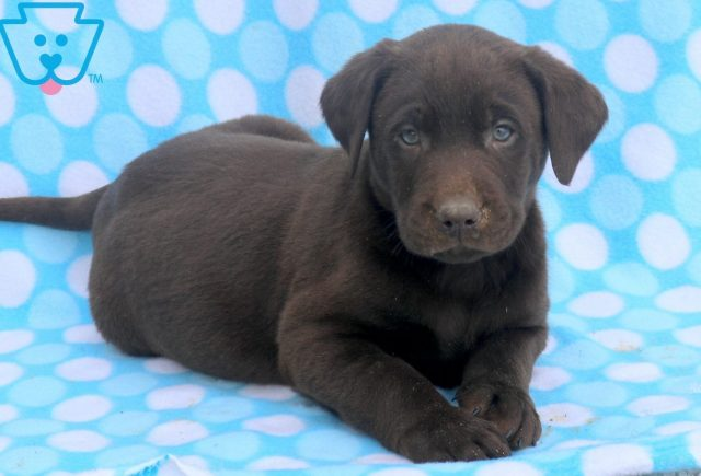 Stanley Chocolate Lab 1