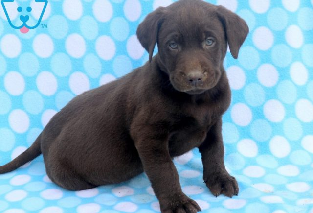 Stanley Chocolate Lab 2