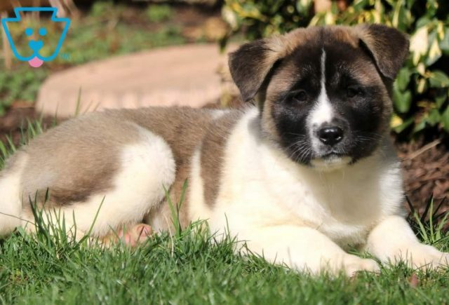 Star2-Akita-Breed-Working-Dog-AKC
