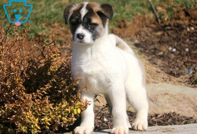 Summer2-Akita-Breed-Working-Dog-AKC