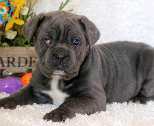 Sonny Cane Corso Puppy For Sale Keystone Puppies